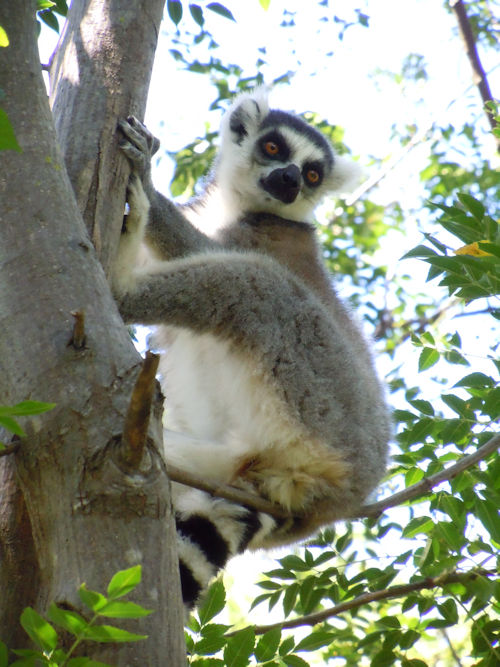Lemur in Anja National Reserve, Madagascar
