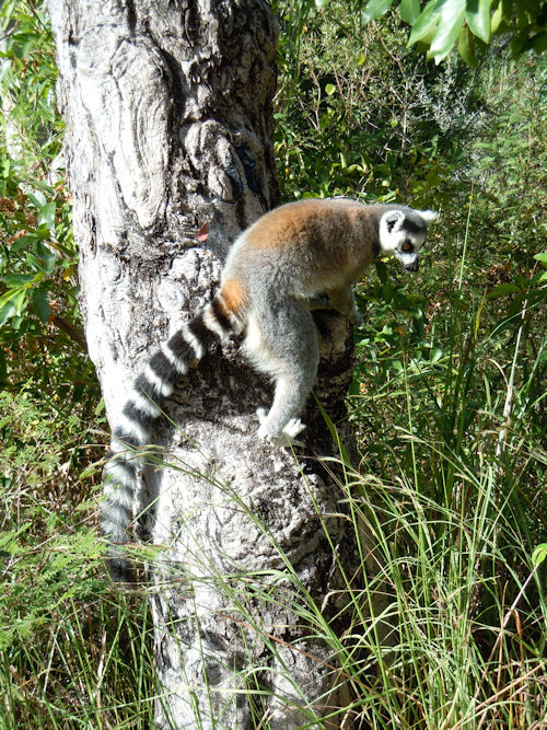 Lemur in Isalo National Park, Madagascar